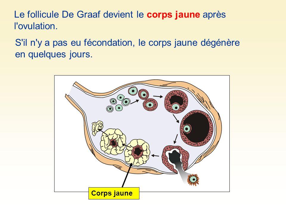 Le follicule De Graaf devient le corps jaune après l'ovulation. Corps jaune S'il n'y a pas eu fécondation, le corps jaune dégénère en quelques jours.