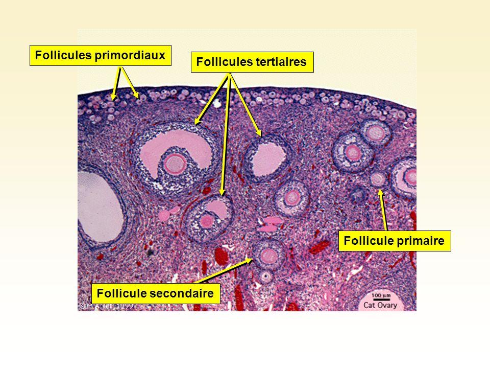 Follicules primordiaux Follicule primaire Follicules tertiaires Follicule secondaire