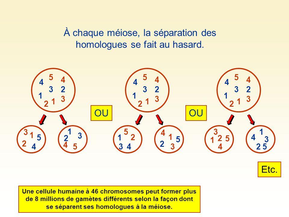3 3 5 5 1 1 4 4 1 23 4 5 3 1 4 2 2 2 À chaque méiose, la séparation des homologues se fait au hasard. 1 23 4 5 3 1 4 2 33 5 5 1 1 4 4 2 2 OU 1 23 4 5