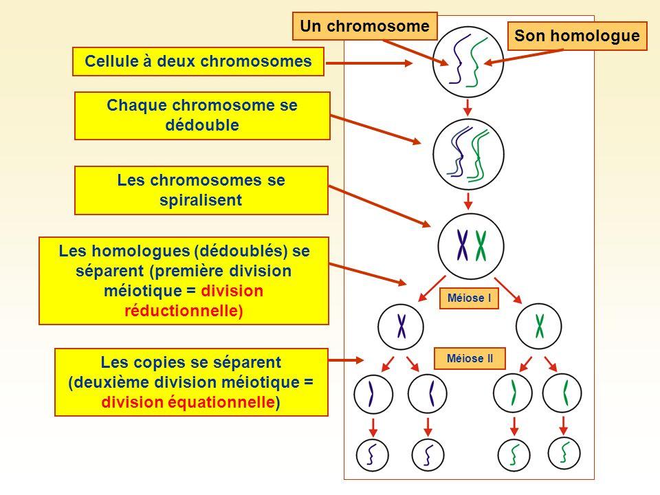 Un chromosomeSon homologueCellule à deux chromosomesLes chromosomes se spiralisent Les homologues (dédoublés) se séparent (première division méiotique