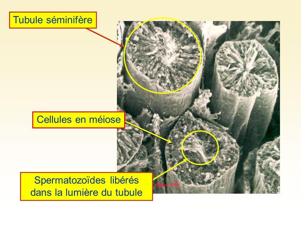 Spermatozoïdes libérés dans la lumière du tubule Cellules en méiose