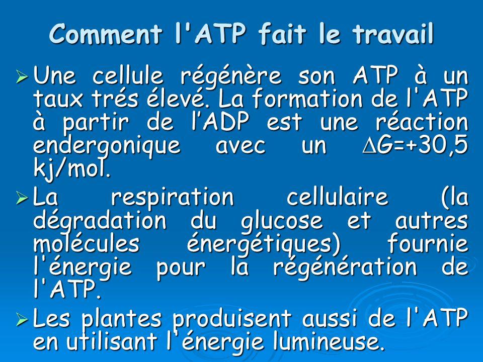 Comment l'ATP fait le travail Une cellule régénère son ATP à un taux trés élevé. La formation de l'ATP à partir de lADP est une réaction endergonique
