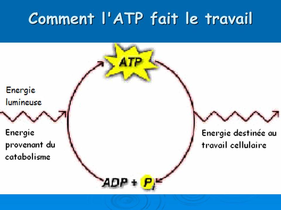 Comment l'ATP fait le travail