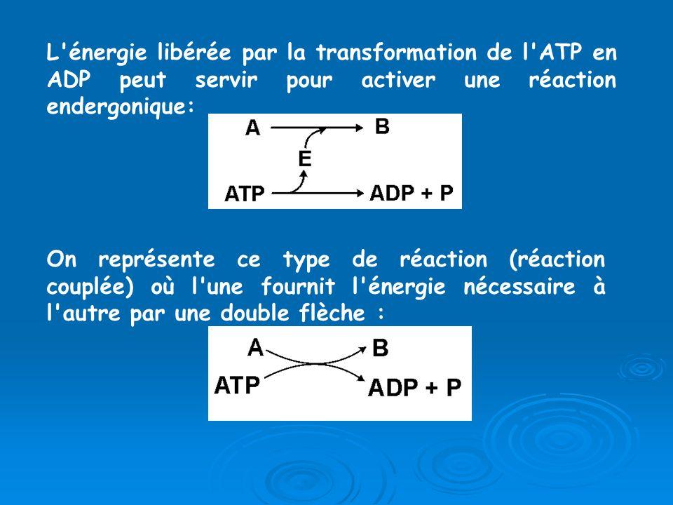L'énergie libérée par la transformation de l'ATP en ADP peut servir pour activer une réaction endergonique: On représente ce type de réaction (réactio