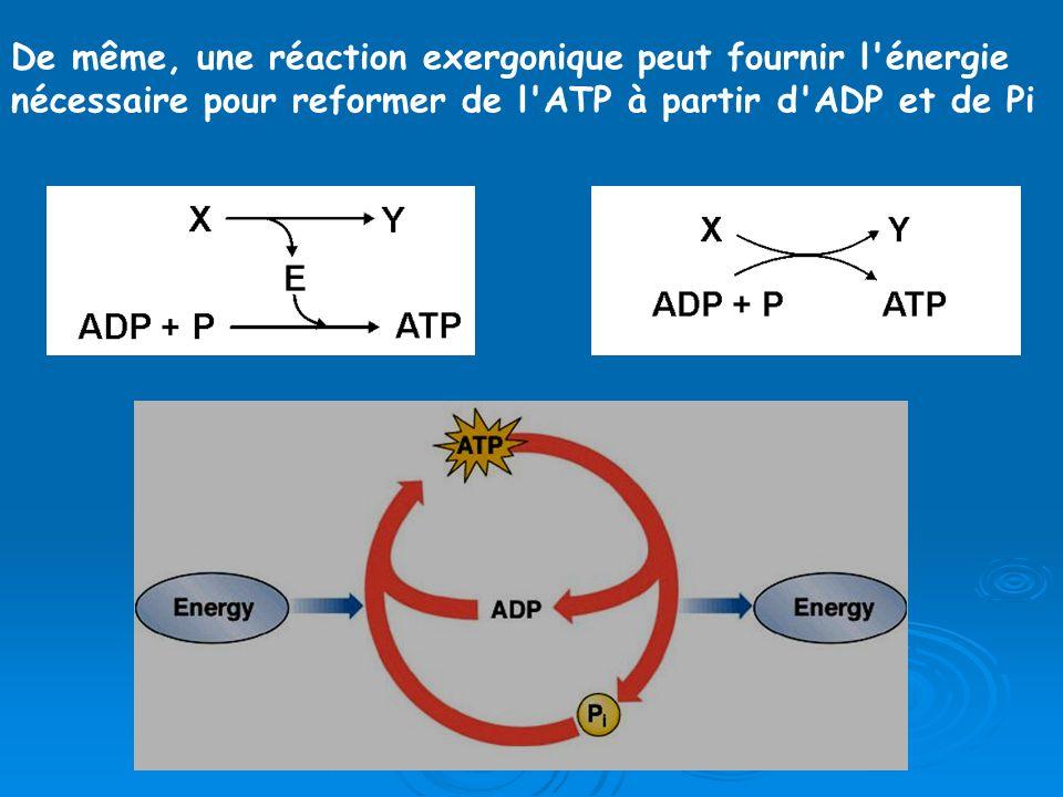 OU De même, une réaction exergonique peut fournir l'énergie nécessaire pour reformer de l'ATP à partir d'ADP et de Pi
