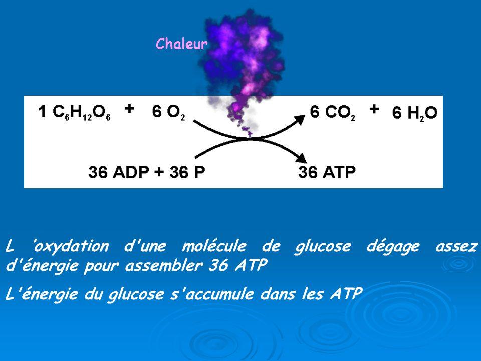 L oxydation d'une molécule de glucose dégage assez d'énergie pour assembler 36 ATP L'énergie du glucose s'accumule dans les ATP Chaleur