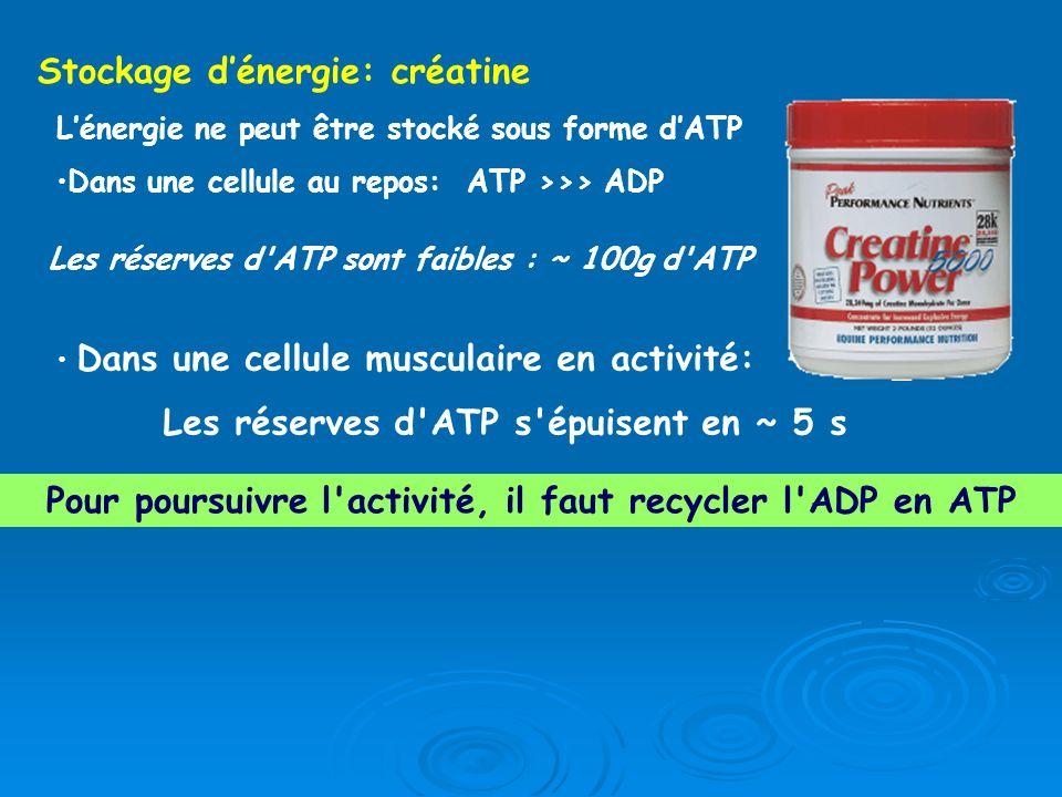 Lénergie ne peut être stocké sous forme dATP Dans une cellule au repos: ATP >>> ADP Les réserves d'ATP sont faibles : ~ 100g d'ATP Dans une cellule mu