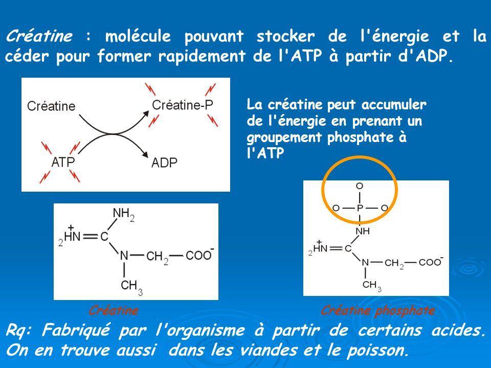 Créatine : molécule pouvant stocker de l'énergie et la céder pour former rapidement de l'ATP à partir d'ADP. Rq: Fabriqué par l'organisme à partir de