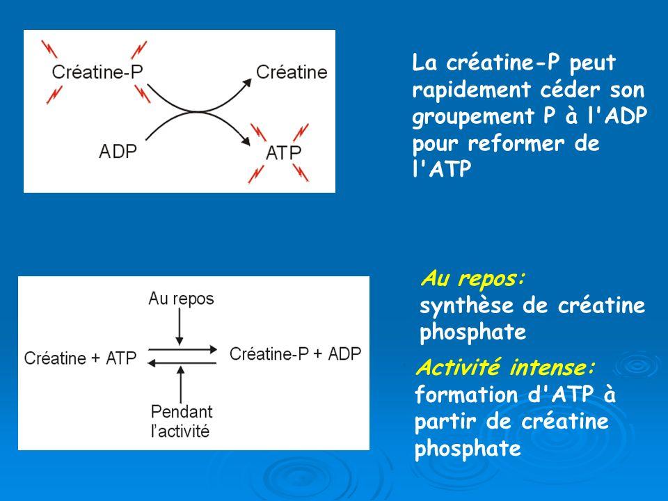 La créatine-P peut rapidement céder son groupement P à l'ADP pour reformer de l'ATP Au repos: synthèse de créatine phosphate Activité intense: formati