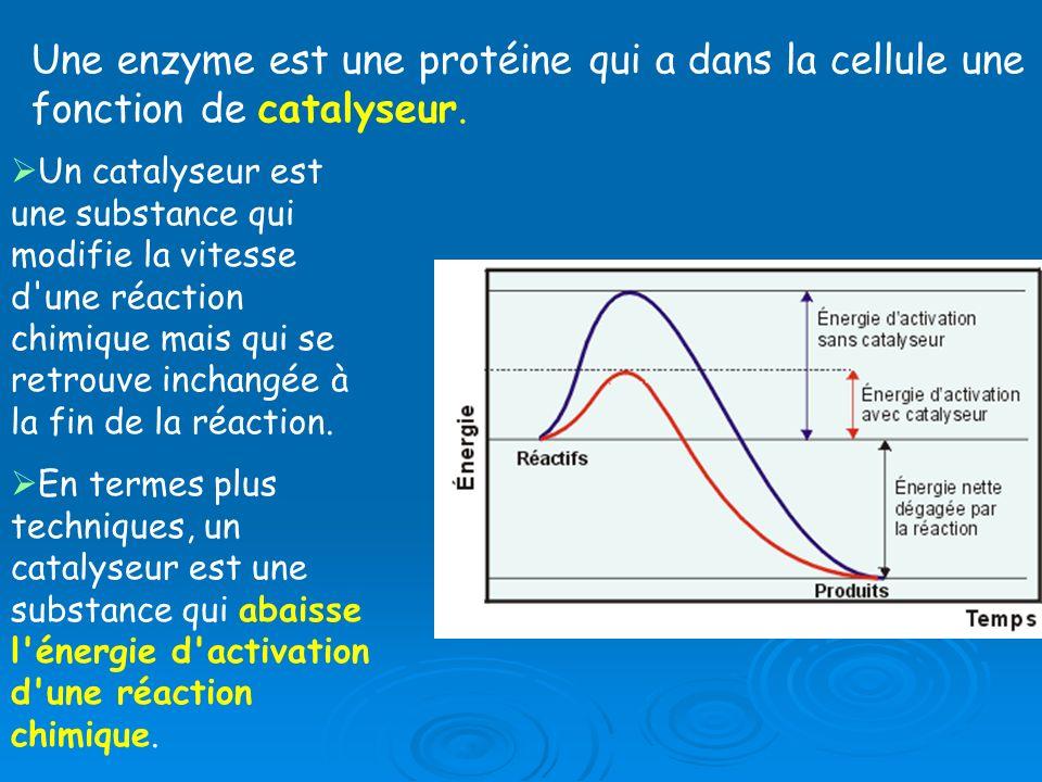 Une enzyme est une protéine qui a dans la cellule une fonction de catalyseur. Un catalyseur est une substance qui modifie la vitesse d'une réaction ch