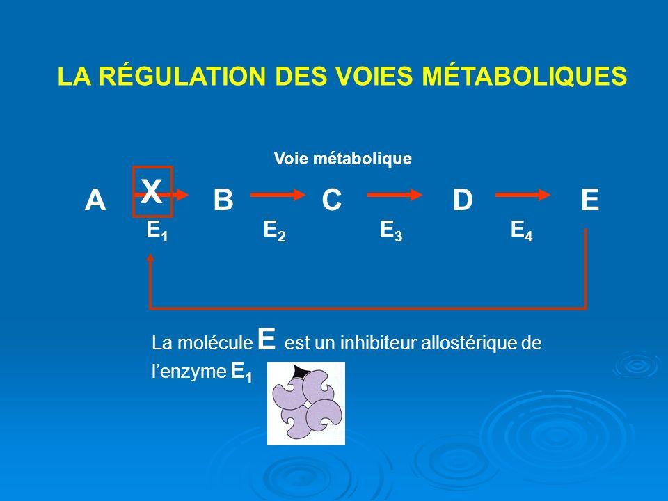 LA RÉGULATION DES VOIES MÉTABOLIQUES ABCDE Voie métabolique E1E1 E2E2 E3E3 E4E4 La molécule E est un inhibiteur allostérique de lenzyme E 1 X