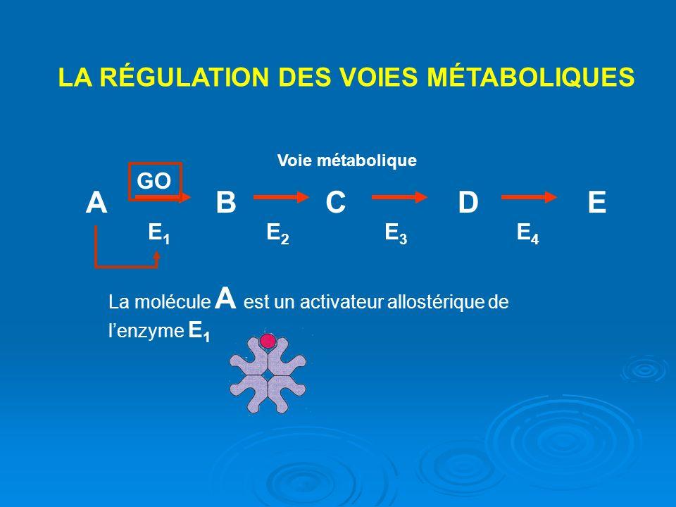 LA RÉGULATION DES VOIES MÉTABOLIQUES ABCDE Voie métabolique E1E1 E2E2 E3E3 E4E4 La molécule A est un activateur allostérique de lenzyme E 1 GO