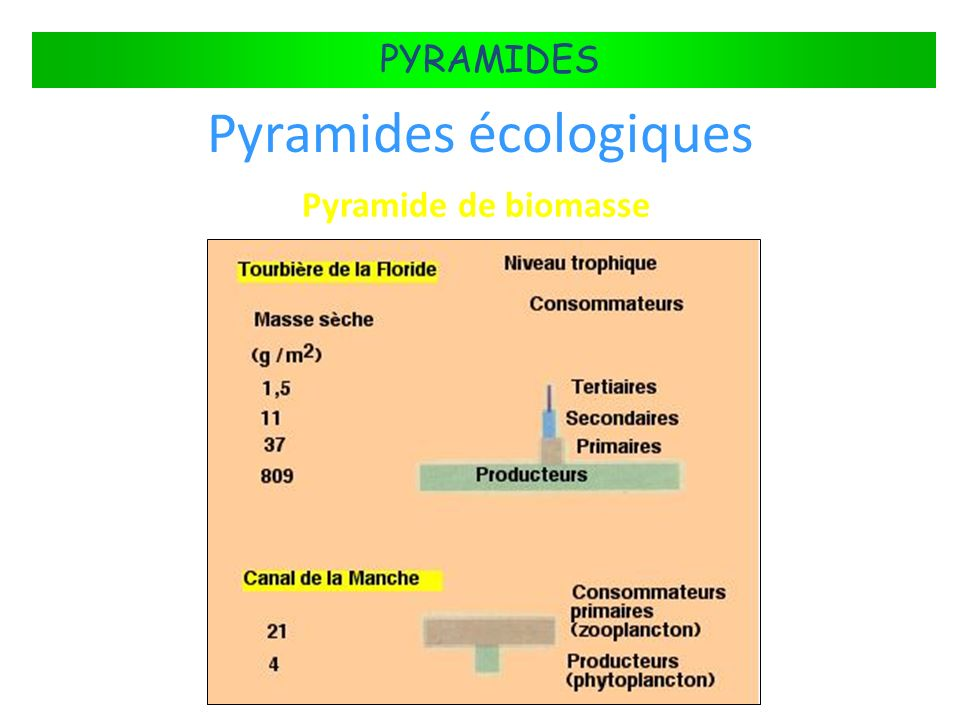 FLUX DÉNERGIE DANS LES ÉCOSYSTÈMES PYRAMIDES Pyramides écologiques Pyramide de biomasse
