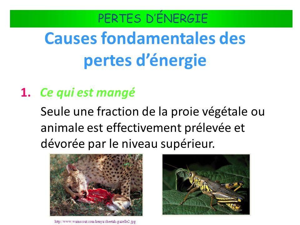 FLUX DÉNERGIE DANS LES ÉCOSYSTÈMES PERTES DÉNERGIE Causes fondamentales des pertes dénergie 1. Ce qui est mangé Seule une fraction de la proie végétal