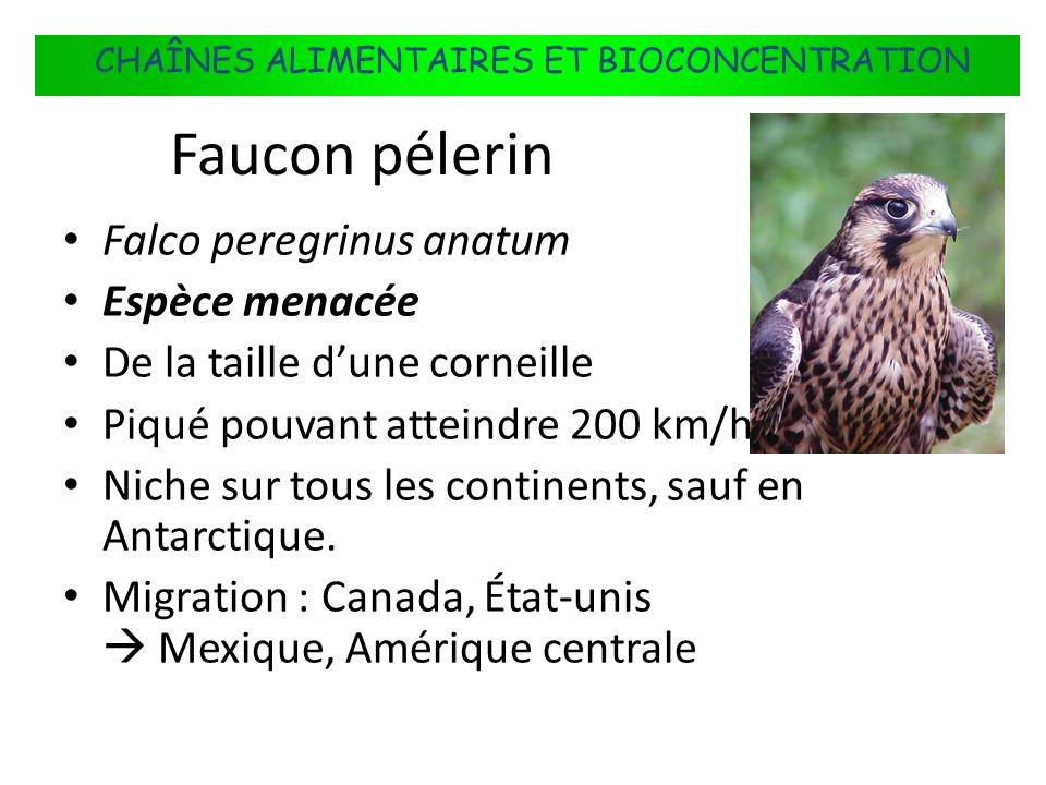 FLUX DÉNERGIE DANS LES ÉCOSYSTÈMES Falco peregrinus anatum Espèce menacée De la taille dune corneille Piqué pouvant atteindre 200 km/h. Niche sur tous