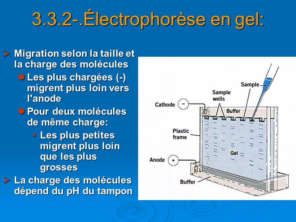 3.3.2-.Électrophorèse en gel: Migration selon la taille et la charge des molécules Migration selon la taille et la charge des molécules Les plus charg