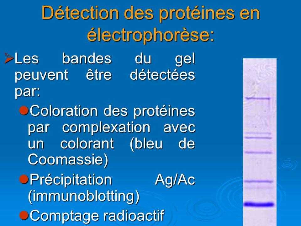 Détection des protéines en électrophorèse: Les bandes du gel peuvent être détectées par: Les bandes du gel peuvent être détectées par: Coloration des