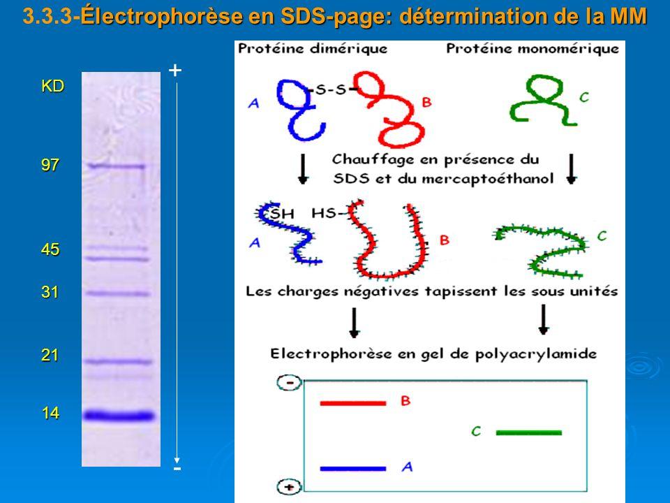 Électrophorèse en SDS-page: détermination de la MM 3.3.3-Électrophorèse en SDS-page: détermination de la MM14 21 31 45 97 KD + -
