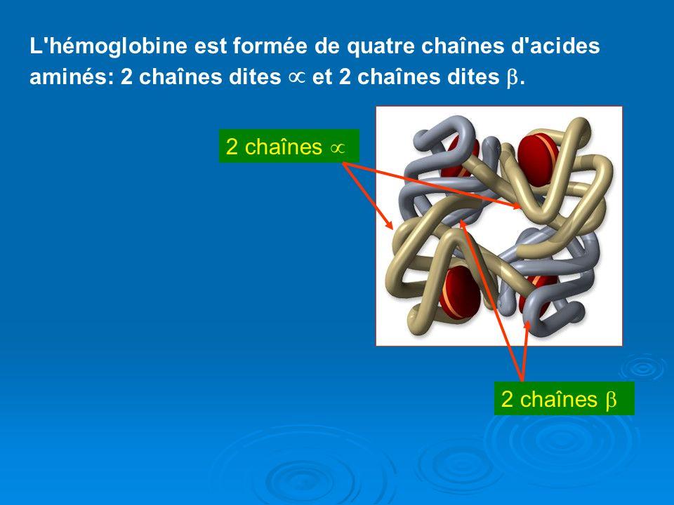 L'hémoglobine est formée de quatre chaînes d'acides aminés: 2 chaînes dites et 2 chaînes dites. 2 chaînes