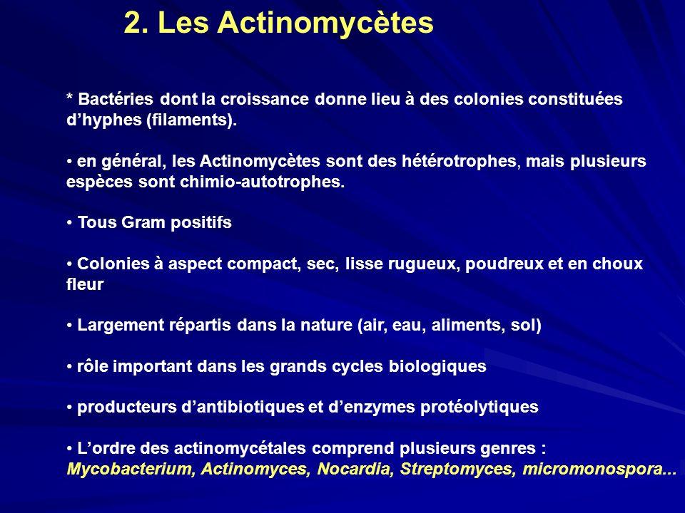 2. Les Actinomycètes * Bactéries dont la croissance donne lieu à des colonies constituées dhyphes (filaments). en général, les Actinomycètes sont des