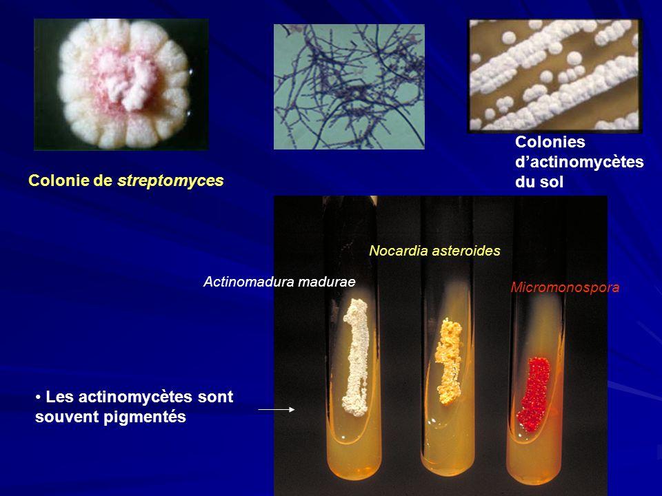 Colonie de streptomyces Colonies dactinomycètes du sol Actinomadura madurae Nocardia asteroides Micromonospora Les actinomycètes sont souvent pigmenté
