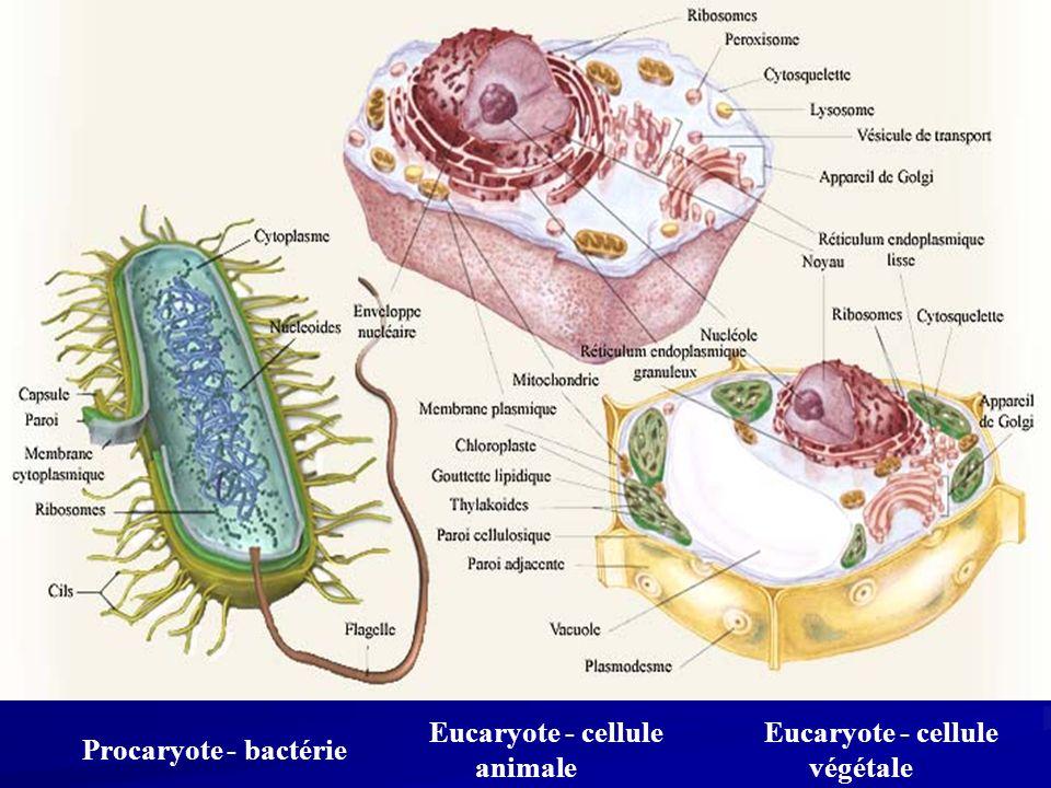 Eucaryote - cellule végétale Eucaryote - cellule animale Procaryote - bactérie
