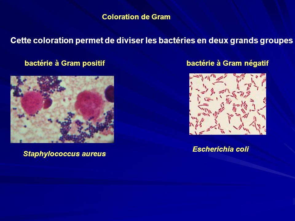 bactérie à Gram positif bactérie à Gram négatif Cette coloration permet de diviser les bactéries en deux grands groupes Escherichia coli Staphylococcu