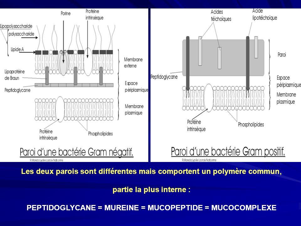 Les deux parois sont différentes mais comportent un polymère commun, partie la plus interne : PEPTIDOGLYCANE = MUREINE = MUCOPEPTIDE = MUCOCOMPLEXE