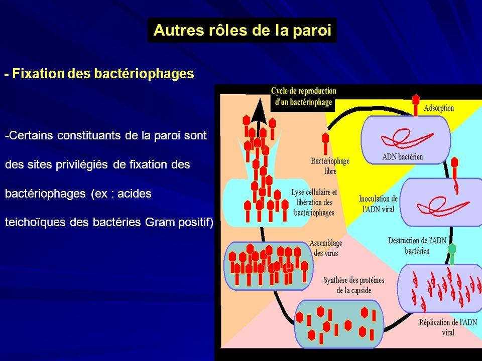 Autres rôles de la paroi - Fixation des bactériophages -Certains constituants de la paroi sont des sites privilégiés de fixation des bactériophages (e
