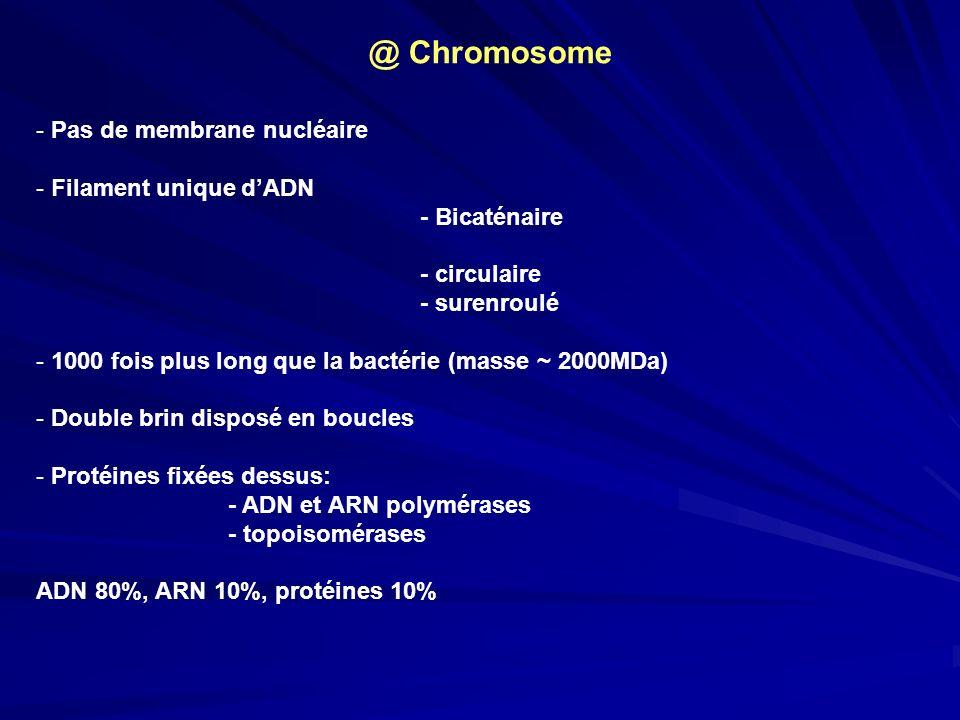 - Pas de membrane nucléaire - Filament unique dADN - Bicaténaire - circulaire - surenroulé - 1000 fois plus long que la bactérie (masse ~ 2000MDa) - D