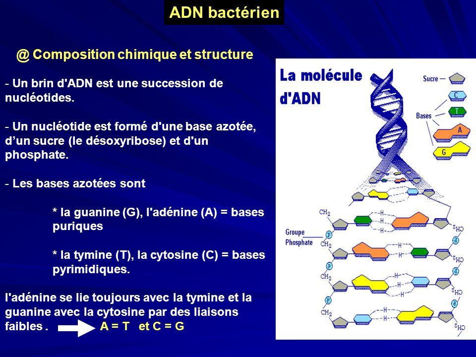 - Un brin d'ADN est une succession de nucléotides. - Un nucléotide est formé d'une base azotée, dun sucre (le désoxyribose) et d'un phosphate. - Les b