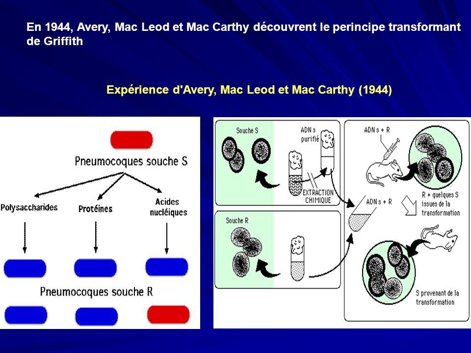 Expérience d'Avery, Mac Leod et Mac Carthy (1944) En 1944, Avery, Mac Leod et Mac Carthy découvrent le perincipe transformant de Griffith