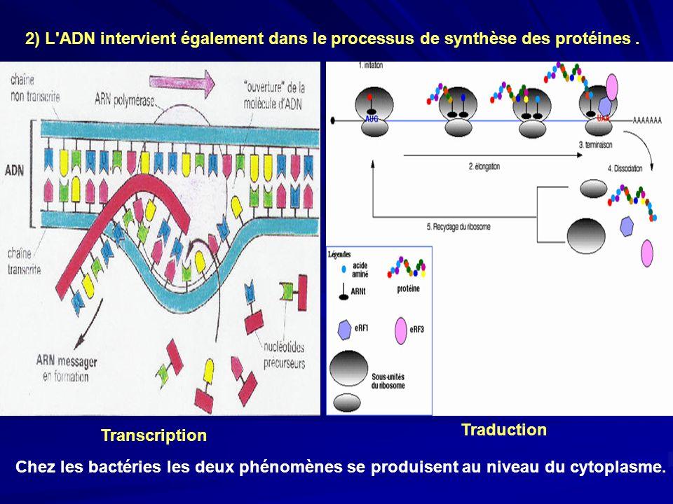 2) L'ADN intervient également dans le processus de synthèse des protéines. Transcription Traduction Chez les bactéries les deux phénomènes se produise