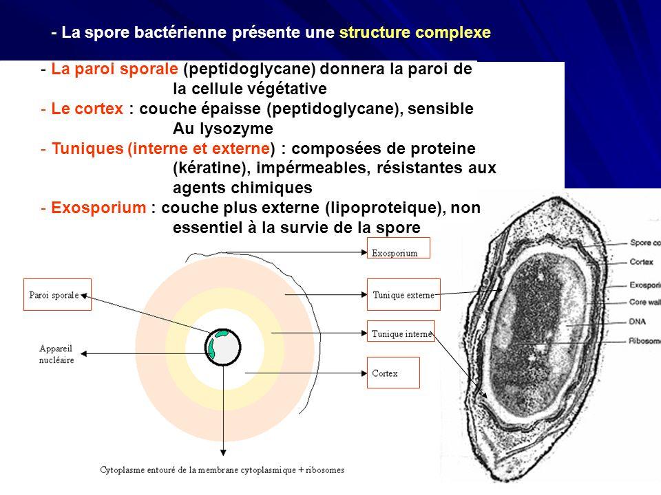 - La spore bactérienne présente une structure complexe - La paroi sporale (peptidoglycane) donnera la paroi de la cellule végétative - Le cortex : cou