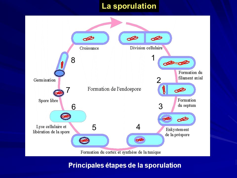 Principales étapes de la sporulation La sporulation 2 1 3 4 5 6 7 8