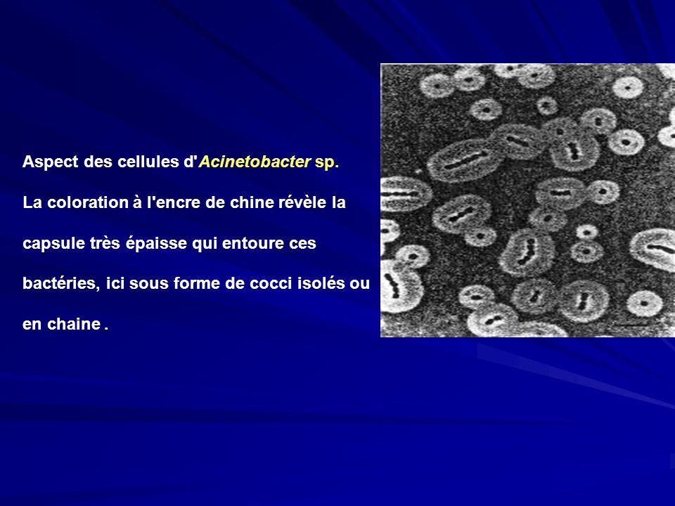 Aspect des cellules d'Acinetobacter sp. La coloration à l'encre de chine révèle la capsule très épaisse qui entoure ces bactéries, ici sous forme de c