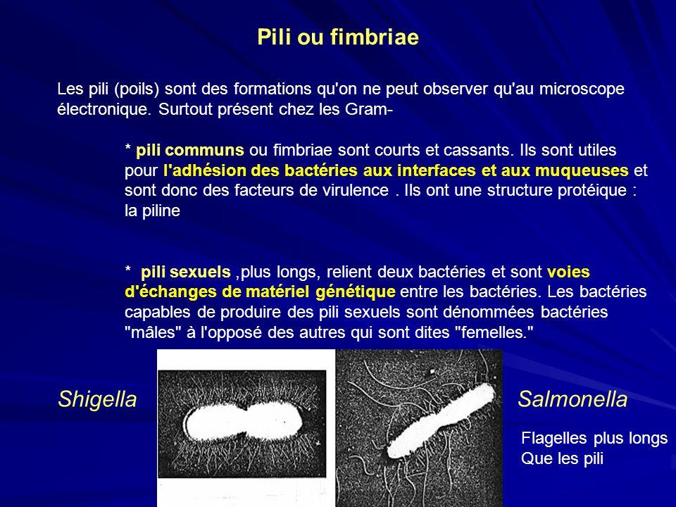 Pili ou fimbriae Les pili (poils) sont des formations qu'on ne peut observer qu'au microscope électronique. Surtout présent chez les Gram- * pili comm