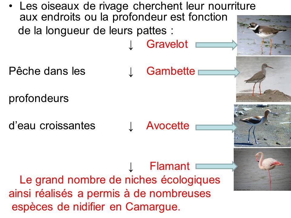 Les oiseaux de rivage cherchent leur nourriture aux endroits ou la profondeur est fonction de la longueur de leurs pattes : Gravelot Pêche dans les Ga