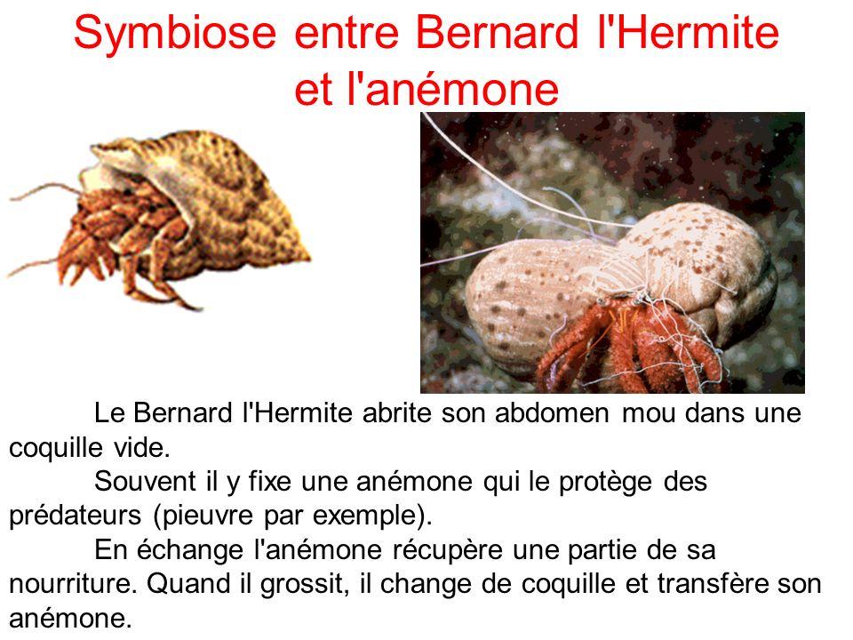 Symbiose entre Bernard l'Hermite et l'anémone Le Bernard l'Hermite abrite son abdomen mou dans une coquille vide. Souvent il y fixe une anémone qui le