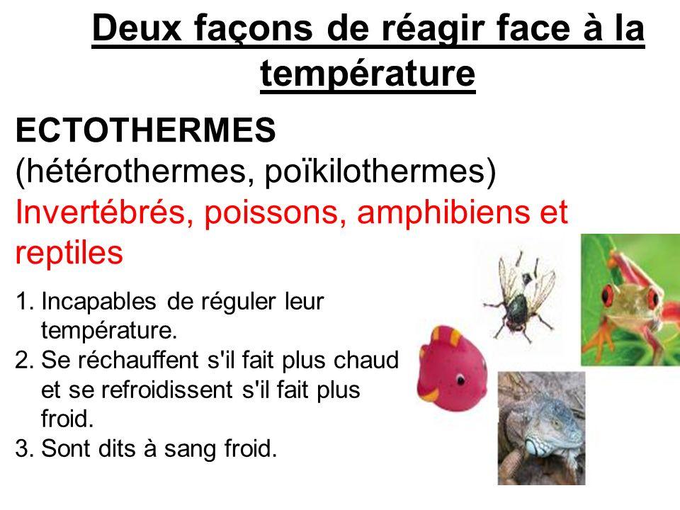 Deux façons de réagir face à la température ECTOTHERMES (hétérothermes, poïkilothermes) Invertébrés, poissons, amphibiens et reptiles 1.Incapables de
