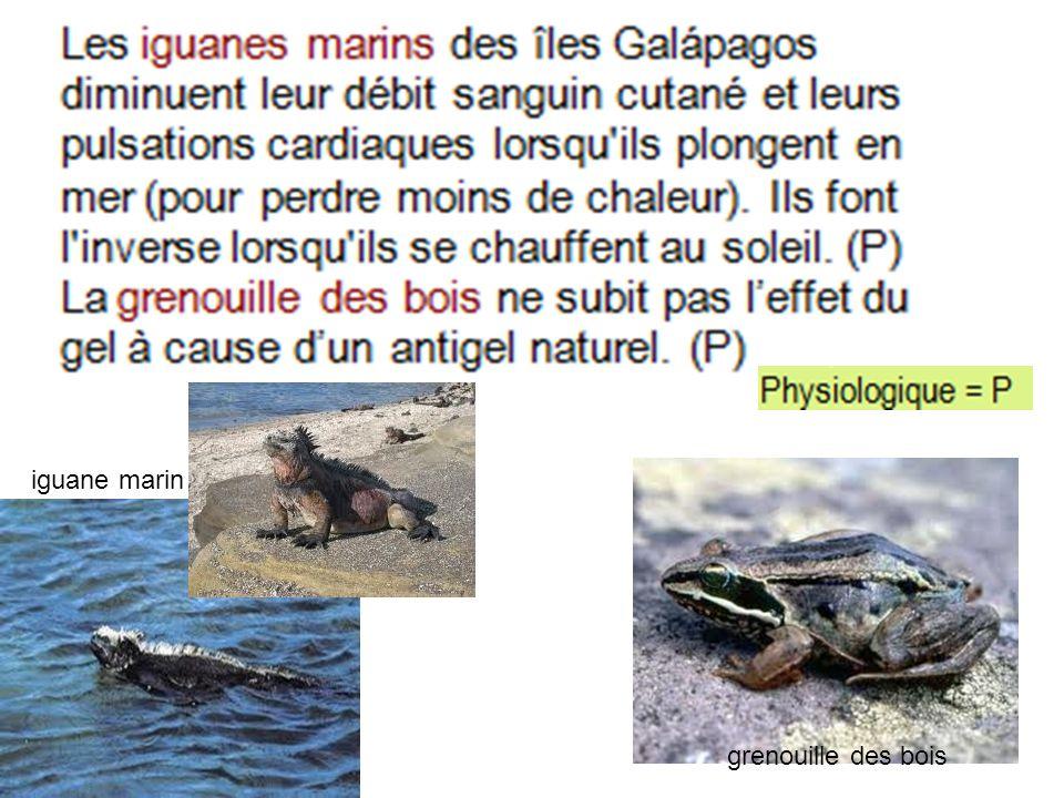 grenouille des bois iguane marin