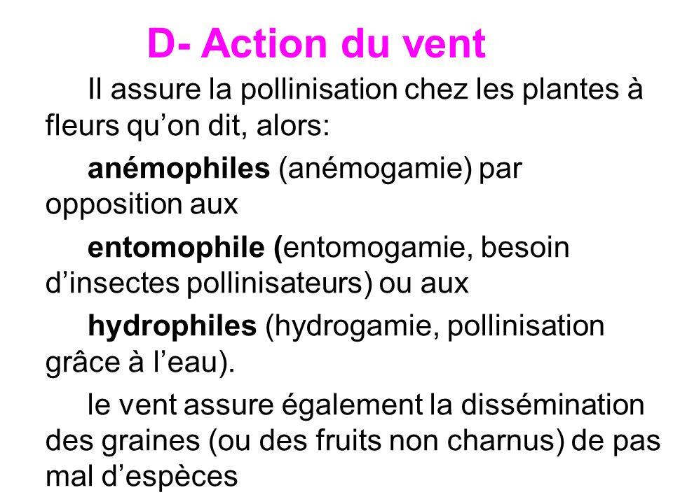 D- Action du vent Il assure la pollinisation chez les plantes à fleurs quon dit, alors: anémophiles (anémogamie) par opposition aux entomophile (entom