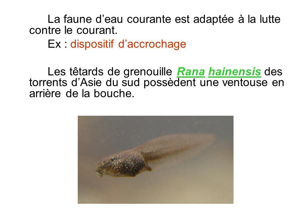 La faune deau courante est adaptée à la lutte contre le courant. Ex : dispositif daccrochage Les têtards de grenouille Rana hainensis des torrents dAs