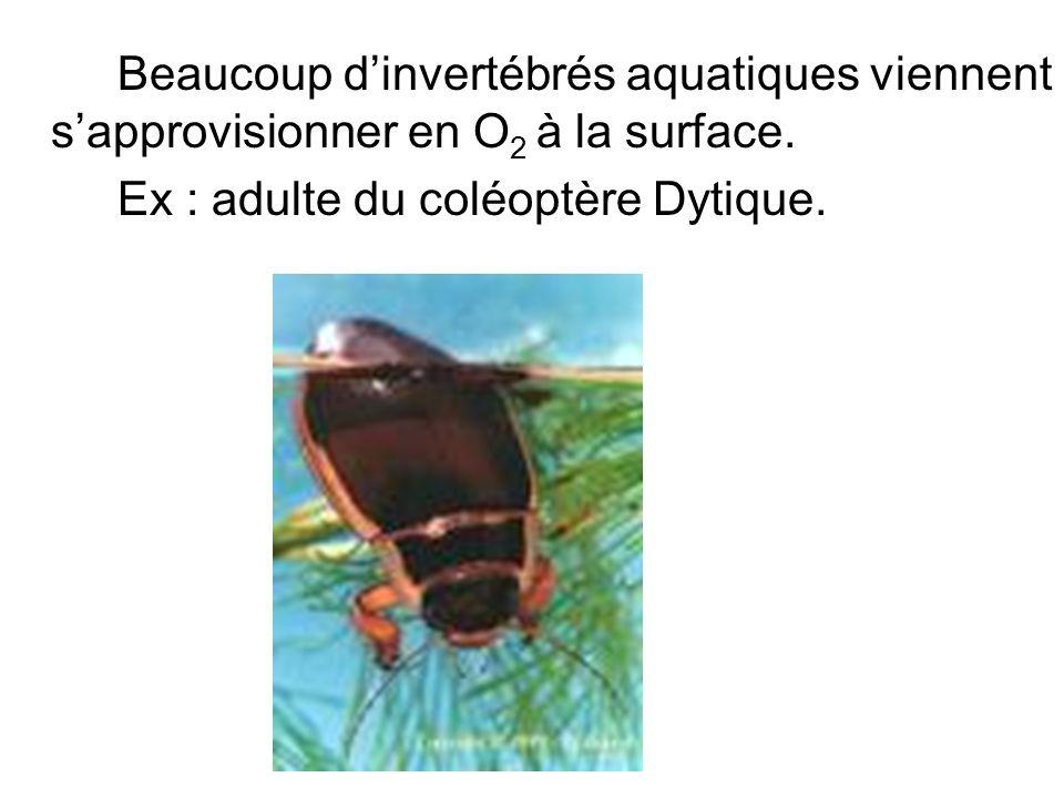 Beaucoup dinvertébrés aquatiques viennent sapprovisionner en O 2 à la surface. Ex : adulte du coléoptère Dytique.