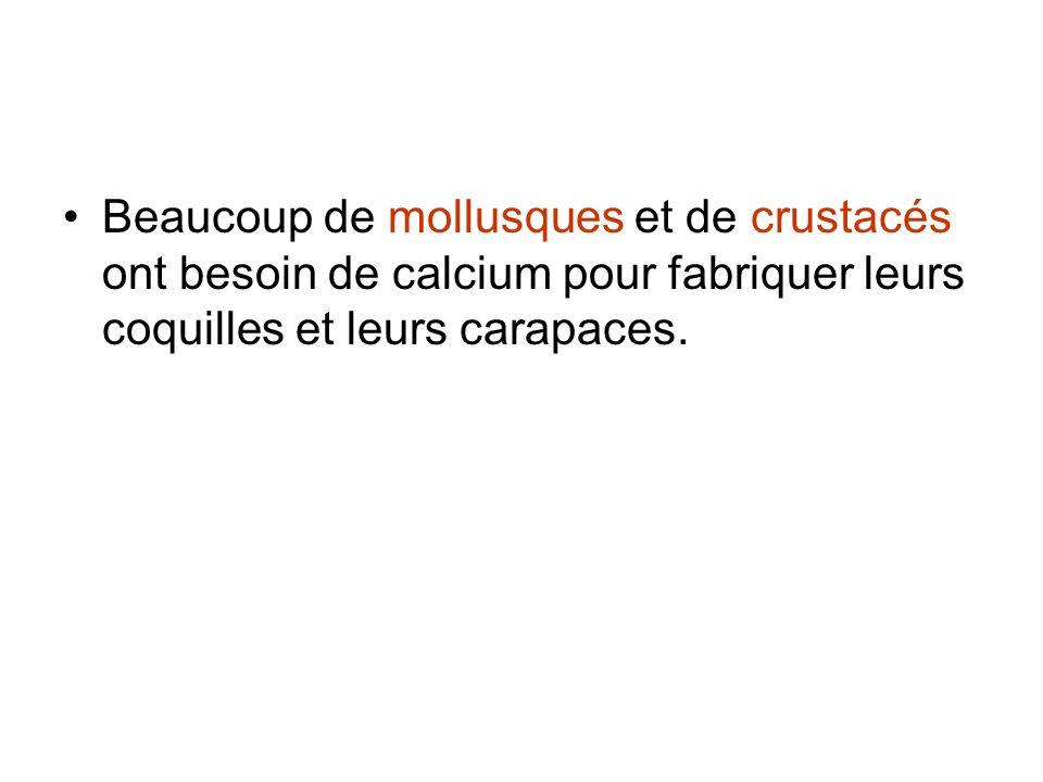Beaucoup de mollusques et de crustacés ont besoin de calcium pour fabriquer leurs coquilles et leurs carapaces.