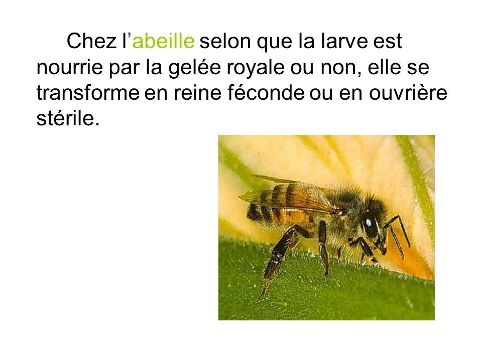 Chez labeille selon que la larve est nourrie par la gelée royale ou non, elle se transforme en reine féconde ou en ouvrière stérile.