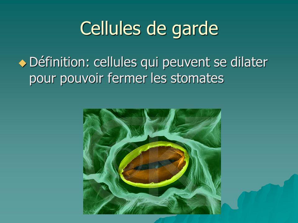 Cellules de garde Définition: cellules qui peuvent se dilater pour pouvoir fermer les stomates Définition: cellules qui peuvent se dilater pour pouvoi