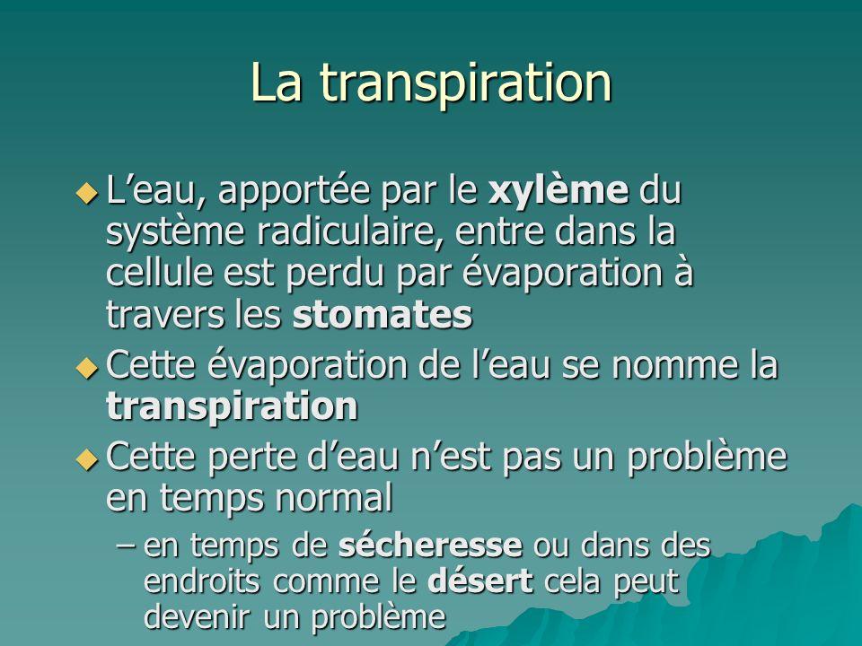 La transpiration Leau, apportée par le xylème du système radiculaire, entre dans la cellule est perdu par évaporation à travers les stomates Leau, app