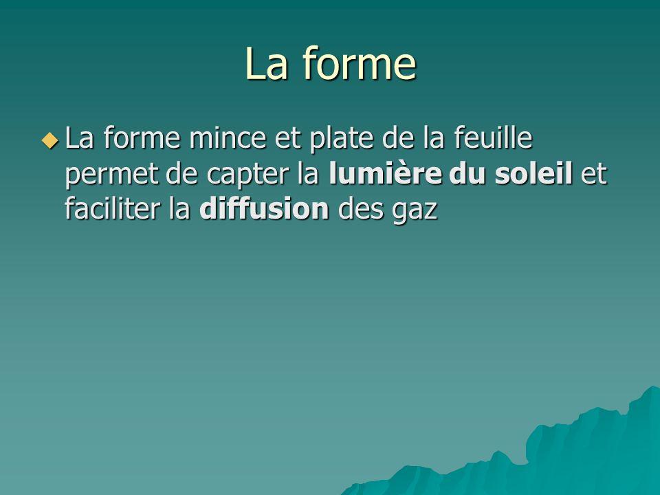 La forme La forme mince et plate de la feuille permet de capter la lumière du soleil et faciliter la diffusion des gaz La forme mince et plate de la f