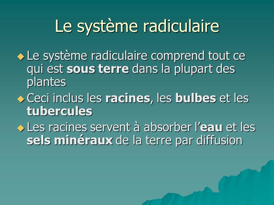 Le système radiculaire Le système radiculaire comprend tout ce qui est sous terre dans la plupart des plantes Le système radiculaire comprend tout ce